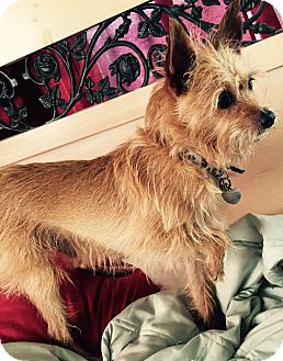 Yorkie, Yorkshire Terrier/Chihuahua Mix Dog for adoption in San Diego, California - Coffee Bean