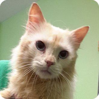 Domestic Mediumhair Cat for adoption in Saint Albans, Vermont - Garry