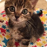 Adopt A Pet :: Sparrow - St. Louis, MO