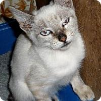 Adopt A Pet :: Snowberry - Dallas, TX