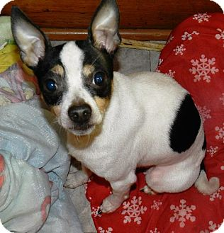 Rat Terrier/Chihuahua Mix Dog for adoption in Buffalo, New York - Puppers