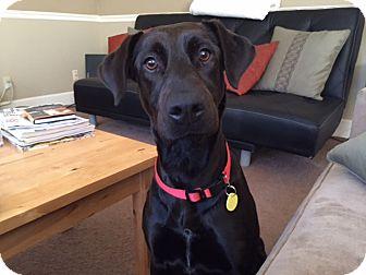 Labrador Retriever Mix Dog for adoption in Austin, Texas - Edwina
