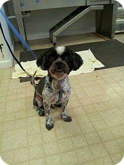 Shih Tzu Dog for adoption in Pompano Beach, Florida - Bert