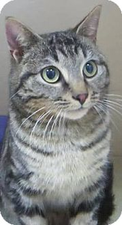 Domestic Shorthair Cat for adoption in Lincolnton, North Carolina - Dude--Store front cool