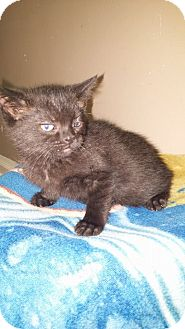 Domestic Shorthair Kitten for adoption in Toledo, Ohio - Ashes