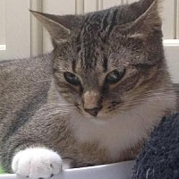 Domestic Shorthair Cat for adoption in Spring Branch, Texas - Magic