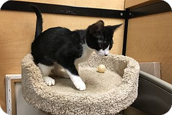 Domestic Shorthair Kitten for adoption in Riverside, California - Fern