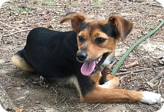 Chihuahua/Feist Mix Dog for adoption in Harrisonburg, Virginia - Miley