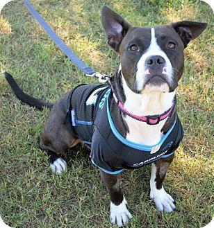 Boxer/Basset Hound Mix Dog for adoption in Charlotte, North Carolina - Cammie