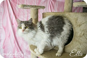 Domestic Mediumhair Cat for adoption in Franklin, Tennessee - Ella