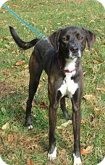 Labrador Retriever Mix Dog for adoption in Mineral, Virginia - Oreo, D39