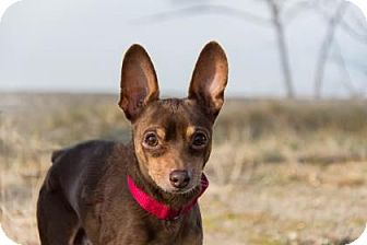 Miniature Pinscher Mix Dog for adoption in Lowell, Massachusetts - Hennessy