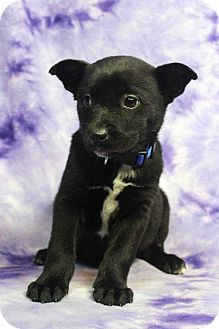 Shepherd (Unknown Type)/Retriever (Unknown Type) Mix Puppy for adoption in Westminster, Colorado - EMILIA