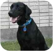 Labrador Retriever Mix Dog for adoption in Metairie, Louisiana - BUDDY