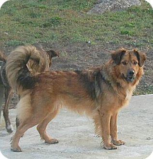 Collie/German Shepherd Dog Mix Dog for adoption in Aiken, South Carolina - Holly