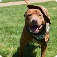 Adopt A Pet :: Scout - Greenville, SC