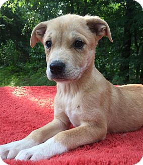 Australian Shepherd/Mixed Breed (Small) Mix Puppy for adoption in Kittery, Maine - Little Bit