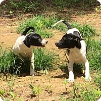 Adopt A Pet :: Maxwell & Arlo - Stamford, CT
