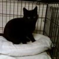 Adopt A Pet :: Ebony - Erie, PA