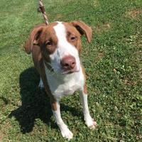 Adopt A Pet :: Carissa - Anderson, IN