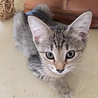 Adopt A Pet :: Darla - Sugar Land, TX