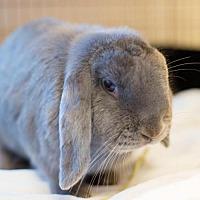 Adopt A Pet :: THOR - Boston, MA
