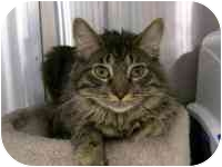 Domestic Longhair Cat for adoption in Las Vegas, Nevada - Tiger
