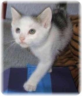 Domestic Shorthair Kitten for adoption in Naples, Florida - Jack
