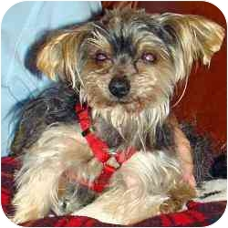 Yorkie, Yorkshire Terrier Mix Dog for adoption in Tallahassee, Florida - Avery
