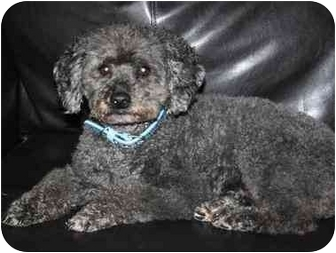 Poodle (Miniature) Mix Dog for adoption in Homer, New York - Buddy