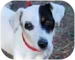 Jack Russell Terrier Dog for adoption in Fair Oaks Ranch, Texas - Dutch