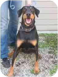 Doberman Pinscher Dog for adoption in spring valley, California - fresca
