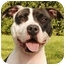 Photo 1 - American Staffordshire Terrier Mix Dog for adoption in Chicago, Illinois - Melody