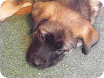 Akita Mix Dog for adoption in Virginia Beach, Virginia - Kamakaze