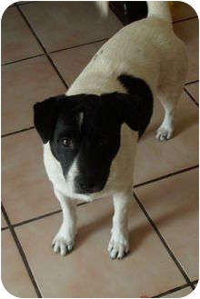 Jack Russell Terrier/Rat Terrier Mix Dog for adoption in hollywood, Florida - chico