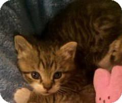 Domestic Shorthair Kitten for adoption in Noblesville, Indiana - Lady