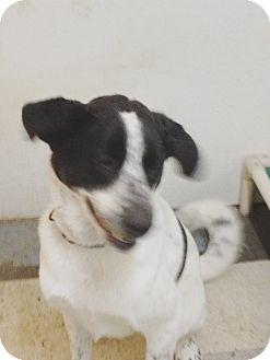 Border Collie/Dalmatian Mix Dog for adoption in North Pole, Alaska - Brady