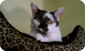 Domestic Shorthair Cat for adoption in Acushnet, Massachusetts - Rainey