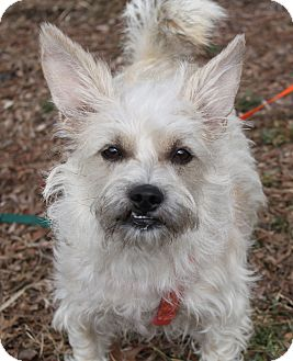 Schnauzer (Standard)/Chihuahua Mix Dog for adoption in Louisville, Kentucky - Ariel