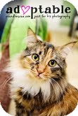 Domestic Longhair Cat for adoption in Okotoks, Alberta - Jinxy