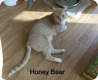 Domestic Mediumhair Cat for adoption in Catasauqua, Pennsylvania - Honey Bear