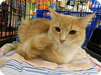 Domestic Mediumhair Cat for adoption in The Colony, Texas - Maddie