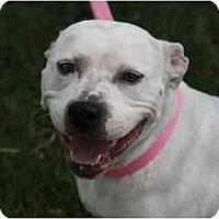 Adopt A Pet :: Bella - DFW, TX