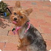 Adopt A Pet :: Bella Rosa - Fairfax, VA