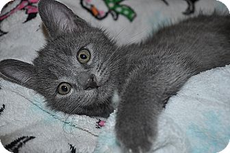 American Shorthair Kitten for adoption in Tampa, Florida - Stormy