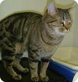 Domestic Shorthair Cat for adoption in Hamburg, New York - Gus Gus