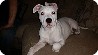 American Pit Bull Terrier/Terrier (Unknown Type, Medium) Mix Puppy for adoption in Oak Lawn, Illinois - Lily