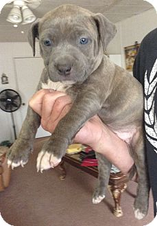 American Pit Bull Terrier Mix Puppy for adoption in Santa Ana, California - Harper (ARSG)