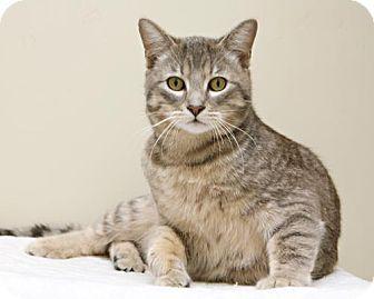 Domestic Shorthair Cat for adoption in Bellingham, Washington - Beau