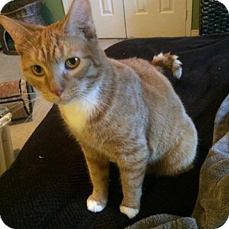 Domestic Shorthair Cat for adoption in Hamilton, Ontario - Timmy